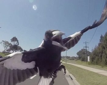 magpie attack while riding your bike